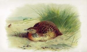 Ilustración de Torillo Andaluz publicada en The Ornithology of the Straits of Gibraltar. H.L. Irby 1898